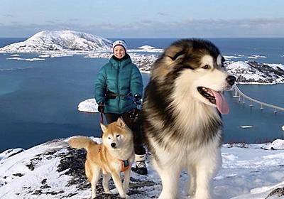 """川上未映子 on Twitter: """"犬画像を見てて、またまたあ……と思ってたらアラスカンマラミュートという犬種だった。すごい大きさ。子どもなら背中に乗って通学はもちろん旅できるレベル。かわいい https://t.co/rKirhExHDJ"""""""