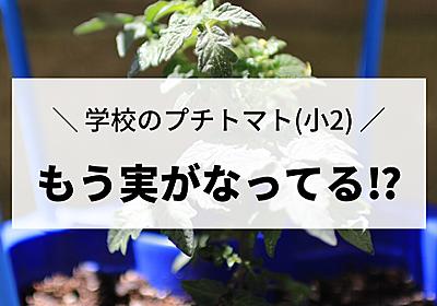 【学校のプチトマト栽培】え…!?もう実がなってる…!?ちょっと早過ぎる気が… : えりゐのEveRy diaRy Powered by ライブドアブログ