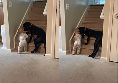 犬「危ないからのぼっちゃダメよ」 階段を登ろうとする赤ちゃんを身をていして守るワンコが愛情深い(1/2 ページ) - ねとらぼ