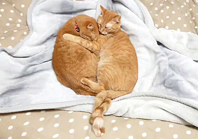 仲良しな双子の猫さん、密着しすぎてねじねじ尻尾になる→これが愛ですか…と理解される「可愛いツイストドーナツ」 - Togetter