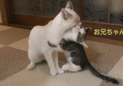 大好きなお兄ちゃん猫とじゃれ合う猫の姿   肉球ドットコム(299.com)