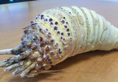 渡しなさいナウシカ! 「ナウシカ」の王蟲そっくりなタケノコが大地の怒りを買いそう - ねとらぼ