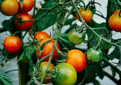 トマトの栄養素リコピンが弱った精子を元気にする - アラフォー妊活情報ブログ