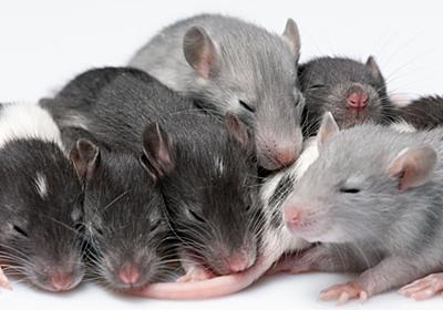 マウスの赤ちゃんは目が開く前から「世界を見ることを夢見ている」かもしれない - GIGAZINE