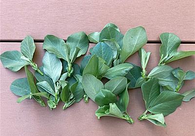 【ソラマメ】ひと手間で収穫量が増える!?摘芯の方法と効果について - アタマの中は花畑
