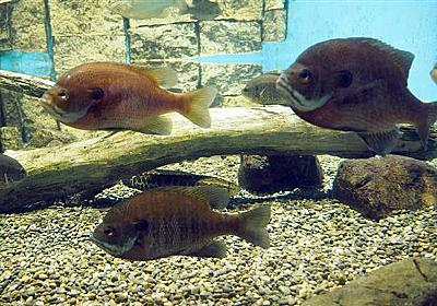 琵琶湖の外来魚が謎の半減、大半はブルーギル…生態系に変化? 滋賀県が実態調査へ(1/2ページ) - 産経WEST