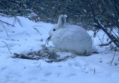 【動画】カメラは見た! 実は肉食系でもあるノウサギ | ナショナルジオグラフィック日本版サイト