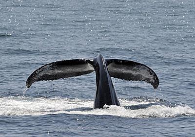 食足りて、○○を知る?――鯨油とパーム油の見えざる関係 / 赤嶺淳 / 海域世界論・食生活誌学 | SYNODOS -シノドス-