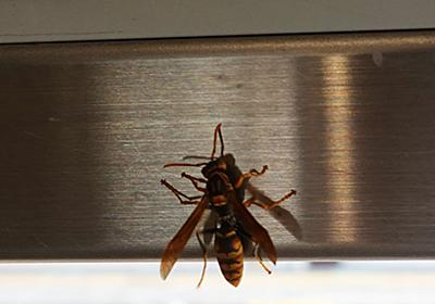 アシナガバチ - ママにも出来る害虫駆除