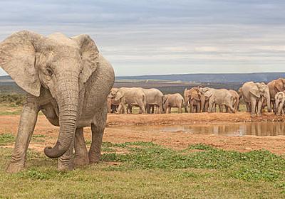モザンビークで「牙が生えないゾウ」の割合増加 密猟が原因か (2021年10月22日掲載) - ライブドアニュース