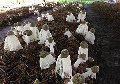 岐阜県のキノコメーカー、ハルカインターナショナルが日本で初、キヌガサタケの商用人工栽培に成功|株式会社ハルカインターナショナルのプレスリリース