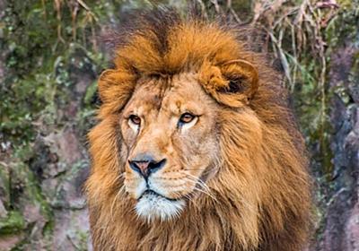 【画像】ホモライオン、雌の隣で雄同士でイチャつく - ゴールデンタイムズ