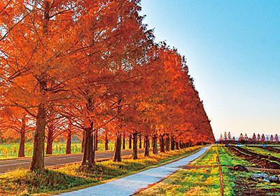 全国「メタセコイア並木」の紅葉スポットおすすめ6選!2021年見頃情報も|じゃらんニュース