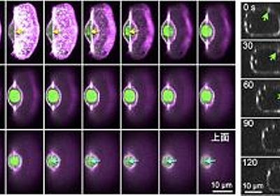 """""""車輪細胞""""見つけた! – 魚類皮膚の細胞が移動する原動力とは – academist Journal"""