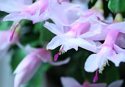 女子的お花撮影に憧れ、マクロ撮影にチャレンジしたが難しいどす・・・。 - CACTUS & PLAID