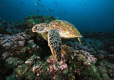 温暖化でウミガメの99%がメスに、オーストラリア | ナショナルジオグラフィック日本版サイト
