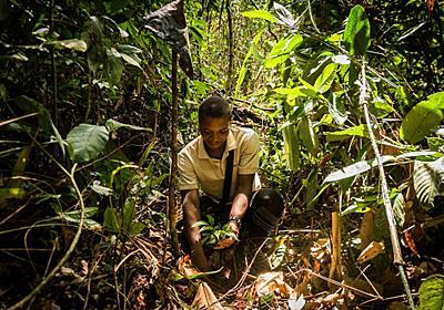 ギターに使う希少な黒檀の森、アフリカで再生へ   ナショナルジオグラフィック日本版サイト