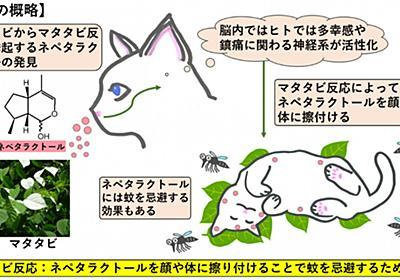 ネコのマタタビ反応の謎を解明 -マタタビ反応はネコが蚊を忌避するための行動だった- | 京都大学
