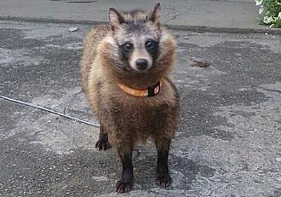 先輩が子猫を拾ったと思って獣医に連れて行ったら犬判定で里親が見つかるまで育ててたらまさかのタヌキ?! - Togetter