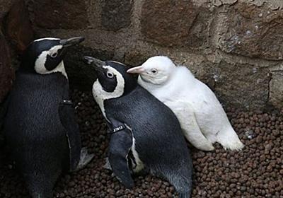 レアな真っ白なペンギンの子供、ポーランドの動物園でデビュー! | Switch news