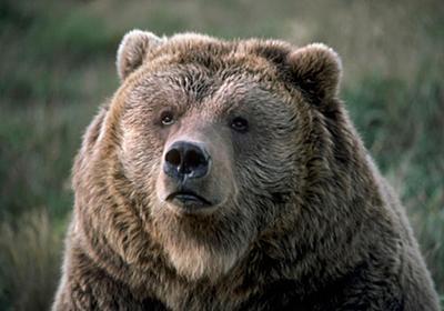 人を襲ったクマは殺されるべきか   ナショナルジオグラフィック日本版サイト