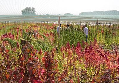 CNN.co.jp : ドバイのセンターが砂漠で育てるのは「将来性ある」食料 - (1/2)