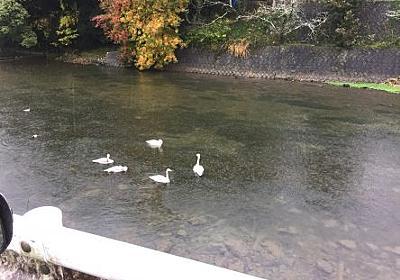 宇和島市来村川でケガで保護されていたオオハクチョウの幼鳥死ぬ! | 理容室/Family Salon セイコウから