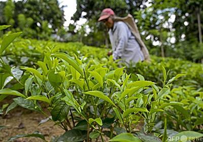 スリランカ、100%有機農業計画を中断 紅茶生産への打撃受け