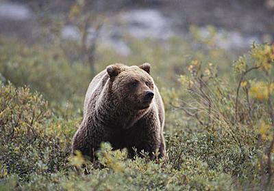絶滅クマのDNA、ヒグマで発見、異種交配していた | ナショナルジオグラフィック日本版サイト