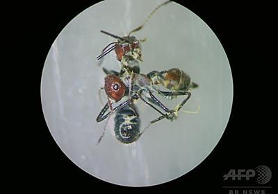 敵を道連れにする「自爆アリ」の複数種 ボルネオ島で発見 研究 写真1枚 国際ニュース:AFPBB News