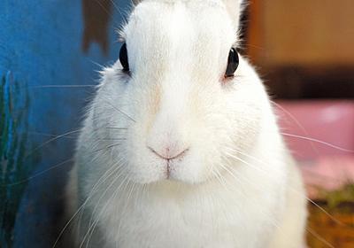 ウサギ駅長に「エサあげないで」 謎の野草で病院行きに:朝日新聞デジタル