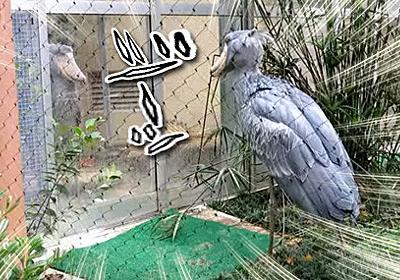 ハシビロコウとハシビロコウがガラス越しのガチンコ対決。激しい睨み合いの末ガラスを割る(上野動物園) : カラパイア