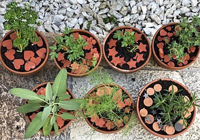 ディル・パセリ・イタリアンパセリ・セージ・ローズマリー・レモンタイムをミニ鉢に植えました - ちょこっと★TRY