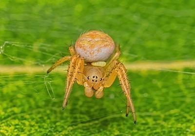 クモヒメバチの幼虫に寄生されたムツボシオニグモはやがてゾンビに - 六時のおやつ