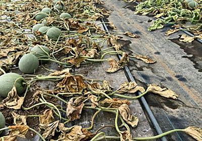富良野メロン6600玉が全滅 何者かが除草剤?農家が憤り「こんなことをする人いるのか」