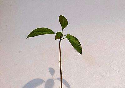 アボカドの『リボフル』再生果物~やっと茎が伸びました! - 40代主婦、変化とのゆるりとした戦い☆彡