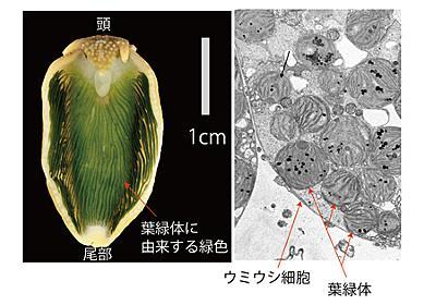基礎生物学研究所 / プレスリリース概要 - 光合成するウミウシ、チドリミドリガイのゲノム情報を解読 〜光合成能は藻類遺伝子が宿主動物の核へ水平伝搬した結果であるという従来の説を覆す〜