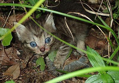 猫が固有のトゲネズミ捕食 奄美大島 | 南海日日新聞