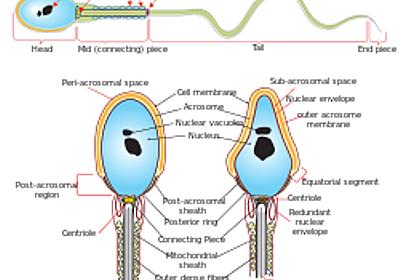 京大、精子形成の分子メカニズムを解明、男性不妊の治療法開発に期待 - 素人が新聞記事書いてみた