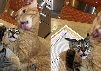 「やめるニ゛ャ゛ャ゛ャ゛!」 破壊的な勢いで毛づくろいされる猫が助けを求める視線でこちらを見ている - ねとらぼ