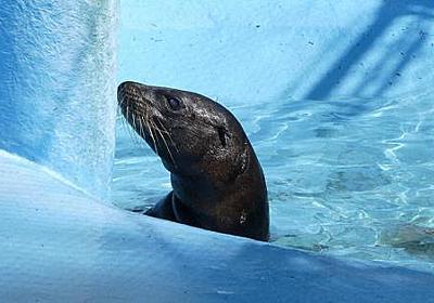行方不明のアシカ見つかる 天王寺動物園内の下水施設で - 毎日新聞
