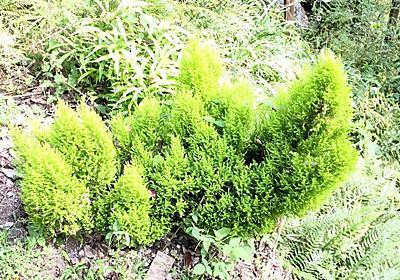 倒れたゴールドクレストの根元から沢山の枝が伸びて面白い形に育って来た(^_^) - 趣味を楽しむDIYな暮らし
