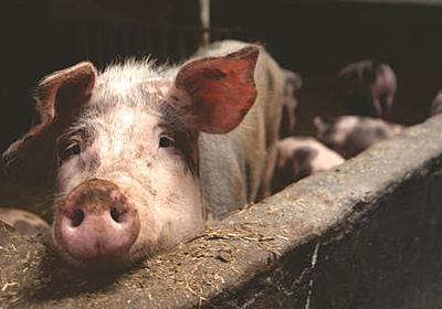 「パンデミックの可能性がある新型豚インフルエンザ」が中国で確認される - GIGAZINE