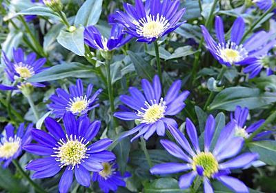 都忘れ 江戸紫 - Ushidama Farm