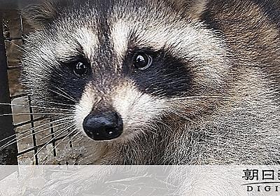 (教えて)アライグマが増え続けて困っているんだって?:朝日新聞デジタル