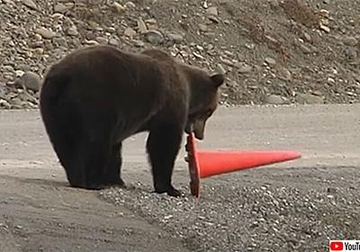 クマの真面目。倒れたコーンを正しい位置に戻すクマ : カラパイア
