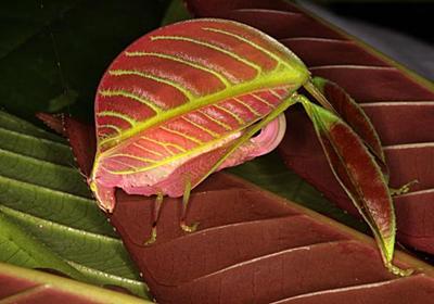 まるで葉っぱ、新種のキリギリスを発見 | ナショナルジオグラフィック日本版サイト