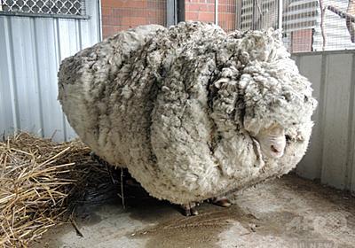毛が伸びすぎた巨大羊、ギネス記録を更新 豪州 写真3枚 国際ニュース:AFPBB News