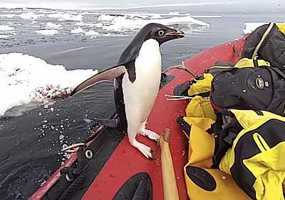 「あれ? 何か変だぞ…人間だ!」 野生のペンギンさん、うっかり南極観測隊のボートに飛び込んでしまう - ねとらぼ