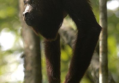 ホエザル、鳴き声太いほど睾丸小さい 研究で判明 写真1枚 国際ニュース:AFPBB News
